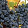 Crno grožđe je čudotvorni lijek